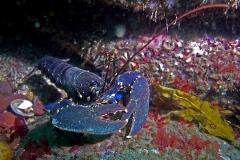 Lobster - Lobester